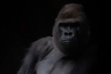 Portrait Of A Male Gorilla In ...