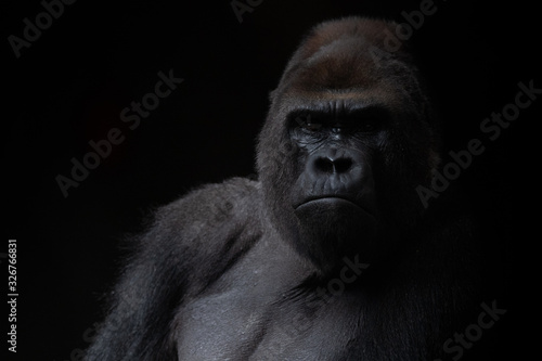 Photo Portrait of a male gorilla in the dark with black background