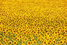 Sunflower Field..