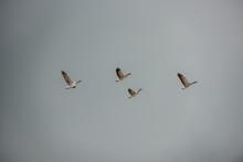 Four Ducks Flying..