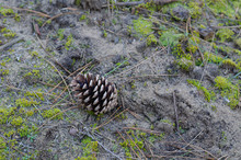 Pine Cone In The Sand.
