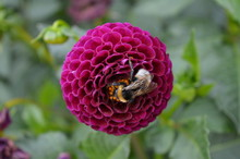 Closeup Of A Dahlia Flower Bei...