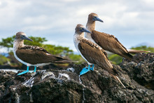 A Trio Of Blue-footed Boobies ...
