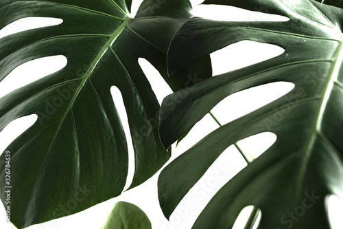 Photo Monstera leaves decorating for composition design