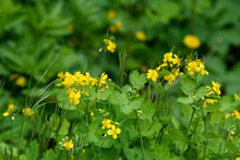 Close Up Of Small Yellow Flowers Of Chelidonium Majus Plant, Commonly Known As Greater Celandine, Nipplewort, Swallowwort, Or Tetterwort, In A Sunny Spring Garden, Beautiful Outdoor Floral Background