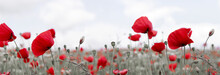 Wild Poppy Flowers On Clouds Sky Background.