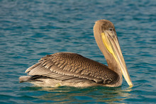 A Brown Pelican Rests On The Water In The Galapagos