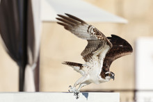 Osprey On A Rooftop With Wing ...