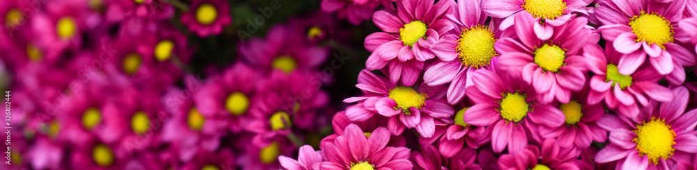 Fototapeta Purple pink and yellow flowers daisies banner or panorama. Bouquets of blossom rainbow Chrysanthemum floral top view. Violet daisy flower background.