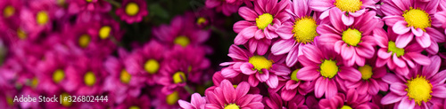Fotografie, Obraz Purple pink and yellow flowers daisies banner or panorama