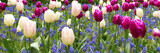 Fototapeta Tulipany - Beautiful spring flowers colorful garden backround. Group of viloet and white tulips in the park wide banner or panorama.