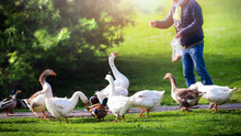 A Man Feeding White Domestic And Grey Geese In Green Park With Peaces Of Bread. Do Not Feed Birds.
