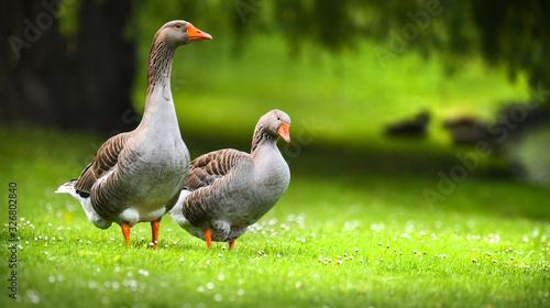 Greylag goose (anser anser) feeding on green flower meadow Canvas Print