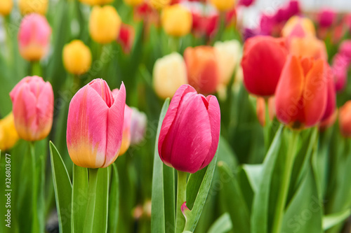 growing vibrant pink and purple tulips close-up #326803677