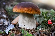 Mushrooms Cut In The Woods. Mushroom Boletus Edilus. Popular White Boletus Mushrooms In Forest.