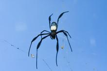 Black Legged Hairy Orb Weaver Spider (Trichonephila Fenestrata), George, South Africa