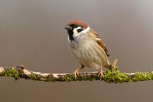 Tree Sparrow (Passer Montanus)...