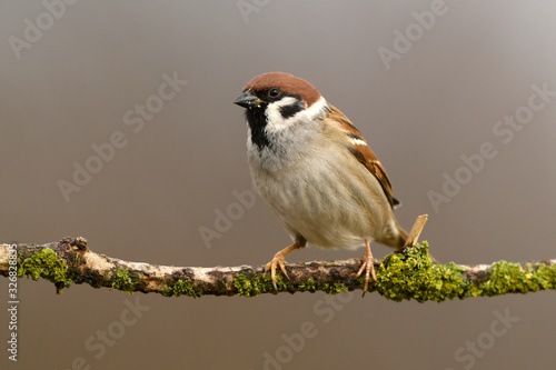 Cuadros en Lienzo Tree sparrow (Passer montanus) close up