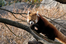 Red Panda (Ailurus Fulgens) Climbing A Tree And Playing Outdoor