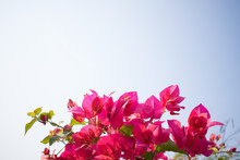 Red Bougainvillea With Blue Sky Background