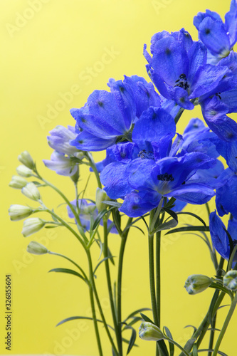 Fotografia deep blue flowers of delphinium on a yellow background