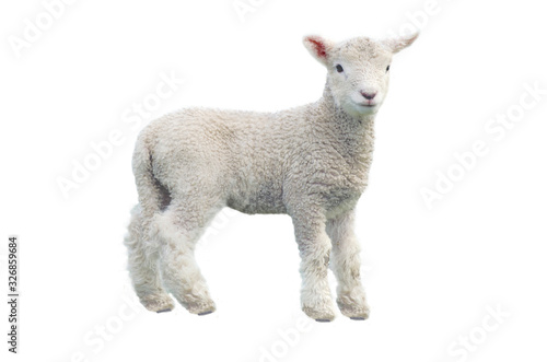 Fotografie, Obraz Cut out of young sheep isolated on white background looking at camera