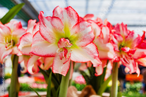 Canvas Print Amaryllis flowers in the pot