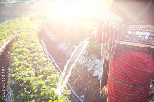 Fényképezés Hilltribe woman watering strawberries.