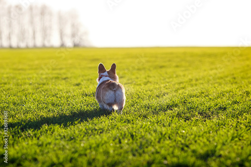 Photo portrait view behind on a cute puppy dog red Welsh Corgi stands on a Sunny sprin