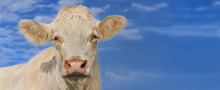 Portrait Of A Young White Cow ...