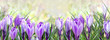 beautiful flowers of crocus blooming  in panoramic view