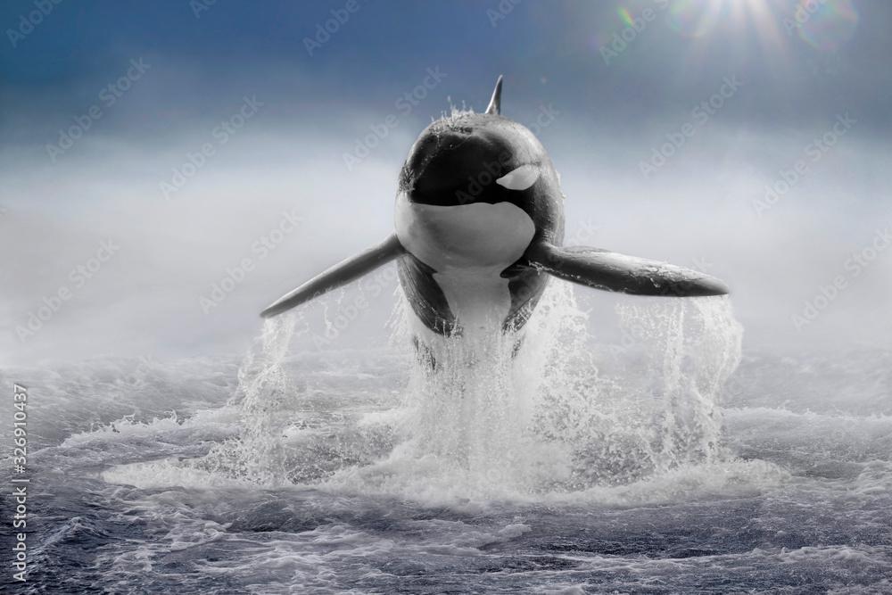 Fototapeta Schwertwal (Orcinus orca) Killerwal im Sprung, frontal im Nebel