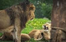 The Lion And Lioness Are Playing Rolling Around On The Grass