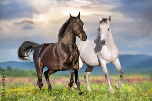 Fototapeta Two beautiful horse run gallop on flowers field with blue sky behind