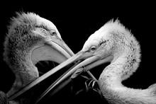Black And White Portrait Pelican