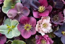 Mixed Colour Hellebore Flowers Floating On Water, Photographed From Above. Hellebores Are Winter Flowering Plants And Are Sometimes Known As Christmas Rose.