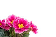 Purple Primrose Flowers Isolat...