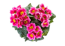Primrose Plant With Purple Flowers Top View Isolated  On White Background