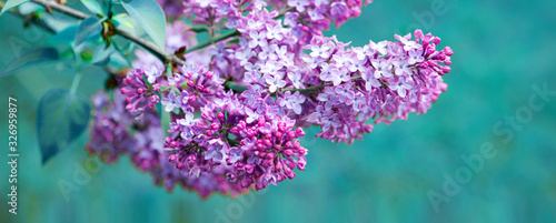 Branch with spring lilac flowers. Nature background.