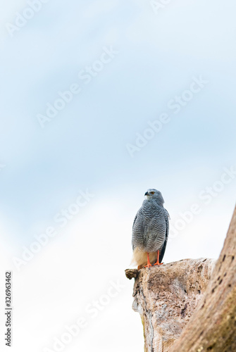Gray-lined Hawk perched on the dead tree trunk, watching for prey Canvas Print