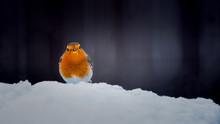 Robin Redbreast In Winter Snow...