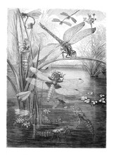 Dragonfly (Libellula) Collage ...