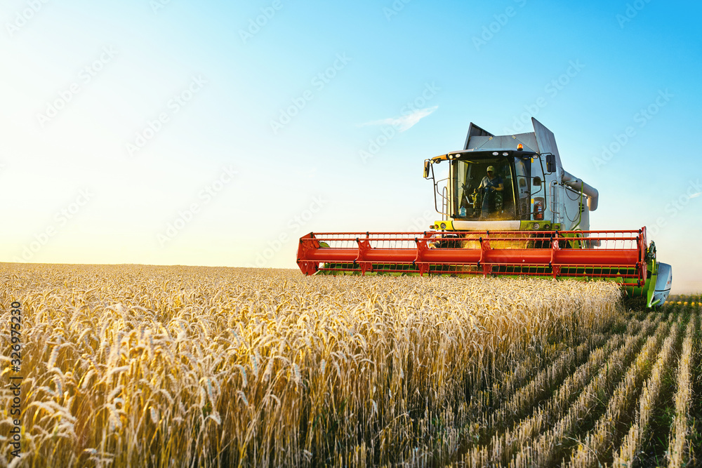 Fototapeta Combine harvester harvests ripe wheat. Ripe ears of gold field on the sunset cloudy orange sky background. . Concept of a rich harvest. Agriculture image