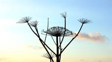 Dry Flower Stems Of A Dangerou...