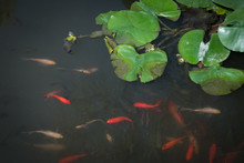 Koi Fishes With Frog In A Smal...