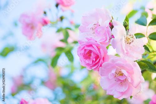 Bush of pink roses in the garden Wallpaper Mural