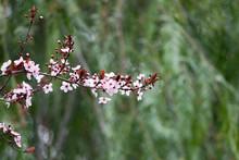 Pink Cherry Plum Blossom, Purple-leaf Tree, Prunus Cerasifera Nigra, Detail, Branch, Blossoms, Tree, Turkish Cherry, Wild Plum-tree, Wild Plums Flower At Full Bloom In Spring In A Beautiful Sunny Day