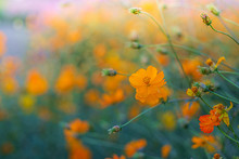 Cosmos Flowers Bloom In The Ra...