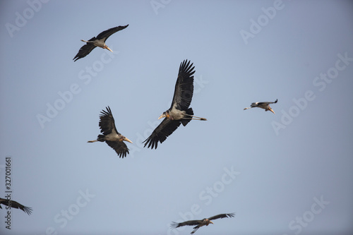 Photo greater adjutant storks