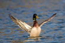 Mallard Duck Spreading Its Wings